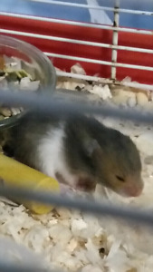 Baby hamsters to give need gone asap