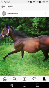 5 yr old thoroughbred gelding