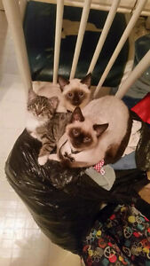 Missing 8 month old Siamese female kitten