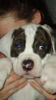Hurry Hurry American Bull Dog Puppies for Sale - Priced to Sell
