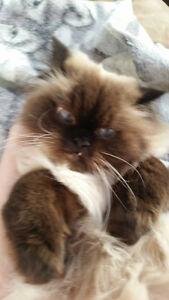 Missing sealpoint Himalayan cat - Franklin/Shuh area