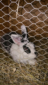 Male mini Rex