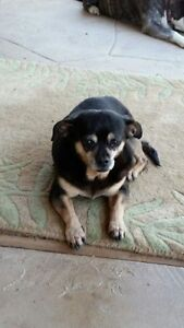 **Sweet Suzette - CHIHUAHUA cross is available for adoption***