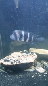 Large frontsoa for sale or trade for african cichlids