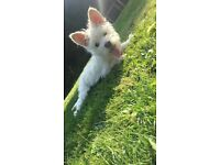 Westie X Norfolk terrier