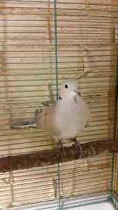 Dove looking for home
