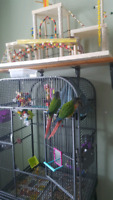 Two green cheek conures with cage