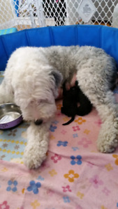 Moyen size sheepadoodle puppies!Old english sheepdog/Poodle love