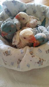 Babies BLUE RINGNECK SPECIAL $600 each (MALE and FEMALE)
