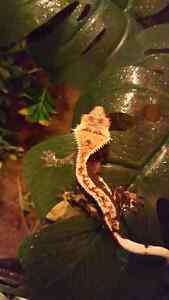 Crested gecko for sale need gone!