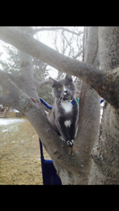 Missing male grey cat