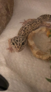Leopard gecko and terrarium