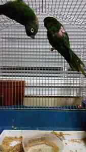 Breeding pair of Maroon bellied conures