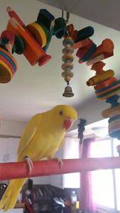 Indian ring neck mael frandy with DNAcertificate and free cage