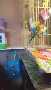 PLEASE HELP! Lost green budgie