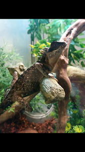 Breeding pair of mountain horned dragons