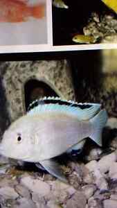 Wanted white lab cichlids Kitchener / Waterloo Kitchener Area image 6