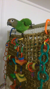 Dusky Conure young adult rehome