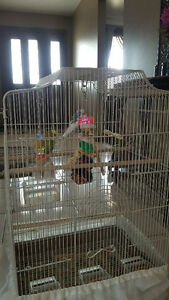 Pair of budgies and big cage for sale