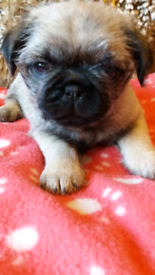 Pug | Dogs & Puppies for Sale - Gumtree
