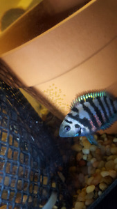 3 breeding pairs of convicts cichlids and baby's