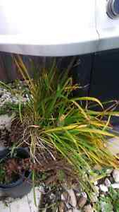 Free Ditch Lily Cambridge Kitchener Area image 1