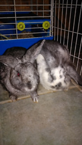 Bonded Pair of Male Rabbits for Sale