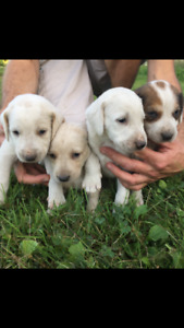 Adorable, Healthy, WALKER HOUND PUPPIES, Pure Bred. B-Day AUG 22