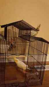 2 cockatiels with cage, feeding dishes and toys