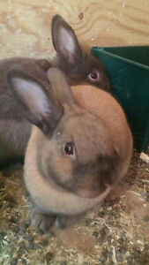 FREE - 2 CUTE MALE BUNNIES TO GOOD HOME