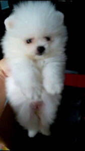Registered Pomeranian Puppies AVAILABLE!