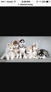 Looking for a Siberian Huskey