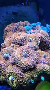 Willing to trade for other corals Gatineau Ottawa / Gatineau Area image 2