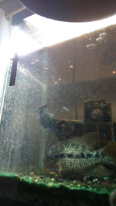 Dovii cichlid 5 inch semi aggressive fish