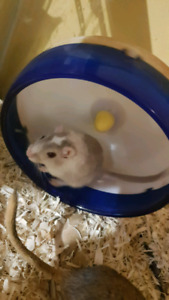 Selling 2 two year old gerbils with all of the toys and cleaning