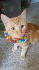 Lost male orange tabby $200 reward Macatee Pl and Bradbury Cr