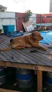 Rehoming my 3 year old golden lab cross