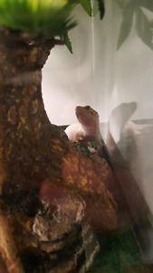**Reduced** 2 leopard geckos