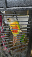 1 Male pineapple and 1 female green cheek conure with cage