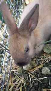 Dwarf Baby Bunnies for Sale
