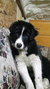Border collie / husky cross pup