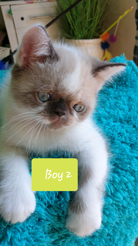 Lovely Friendly Trained Persian Short Haired Kitten For