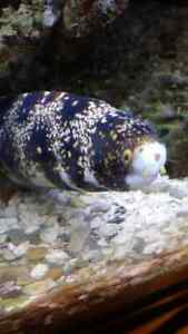 Snowflake eel. Approx 2 foot long.