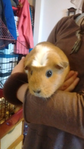 Friendly Guinea pig looking for a good home