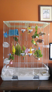 Family of Budgies with Cage & Accessories