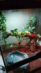 Beautiful Giant Day Gecko with cage to rehome