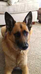 Dog sitter needed Cambridge Kitchener Area image 4