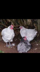 Heritage Hens and Roosters for sale(vaccinated)