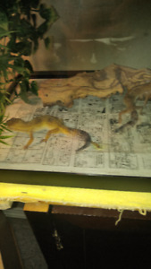 male and female leopard gecko for sale