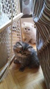 chatton persan reste 1 femelle 2 male